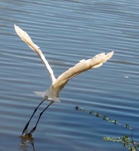 _Egret take-off